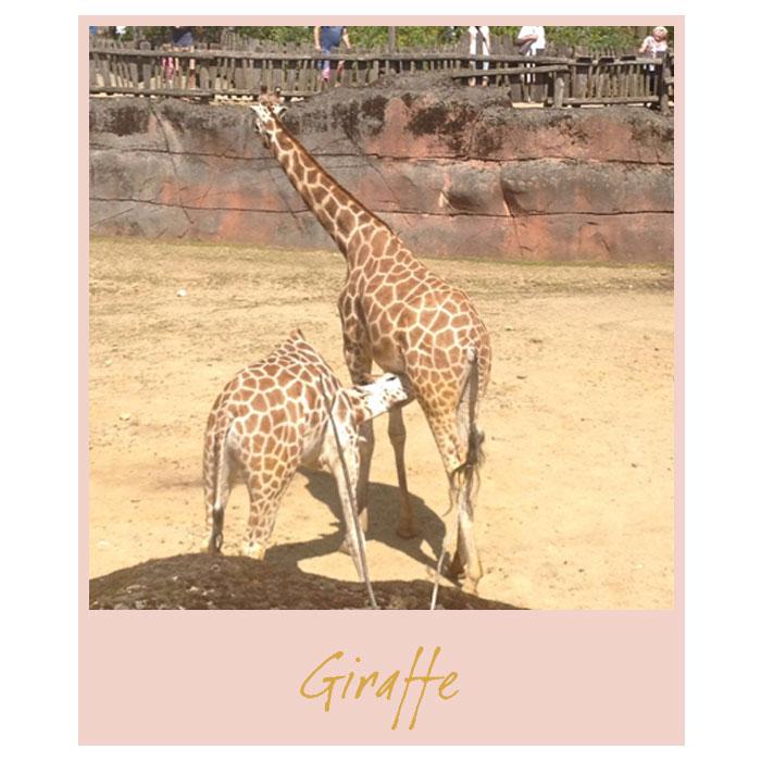 Vrijdag-giraffe
