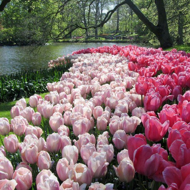 Keukenhof tulpen kinderuitjes
